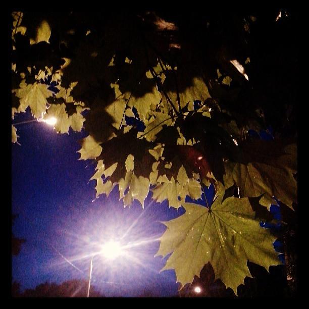 Ночной клён