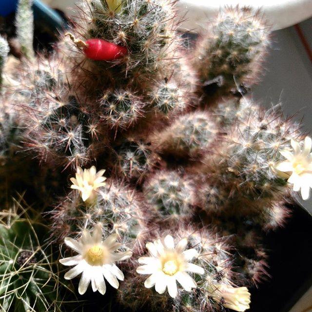 Маммиллярия цветёт каждый год уже лет 18