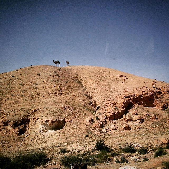 Немного верблюдов вам в ленту! 🐪